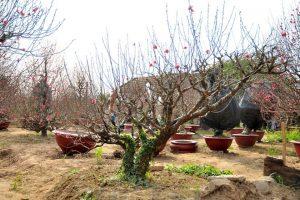 vận chuyển đào, mai, quất, hoa cây cảnh